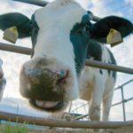 経産牛の相場や味が気になる!肉質は硬いがヒレはうまい?